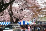 小金井公園・桜