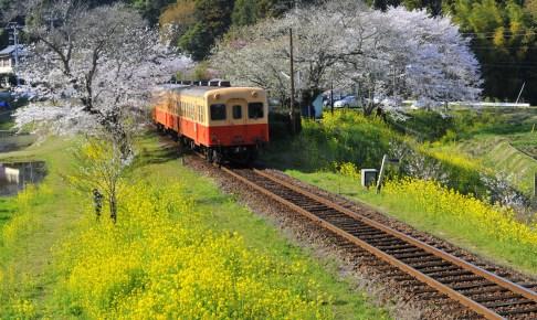 小湊鐡道・菜の花