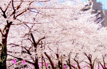 目黒川・桜