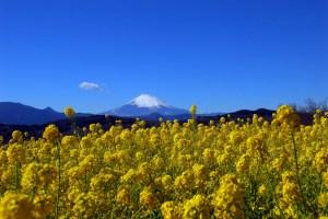 吾妻山『菜の花ウォッチング』