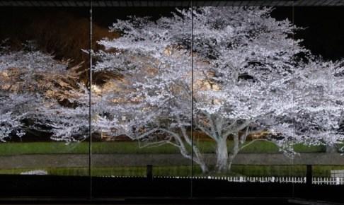 歴博夜桜観賞の夕べ
