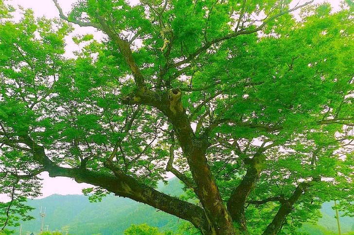 ケヤキ(欅、学名: Zelkova serrata)ニレ科ケヤキ属の落葉高木