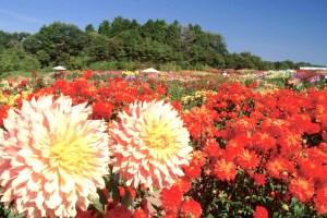 世羅高原農場『ダリアとガーデンマム祭』