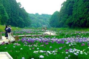 昭和の森 花菖蒲
