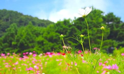 翠波高原『コスモス祭』