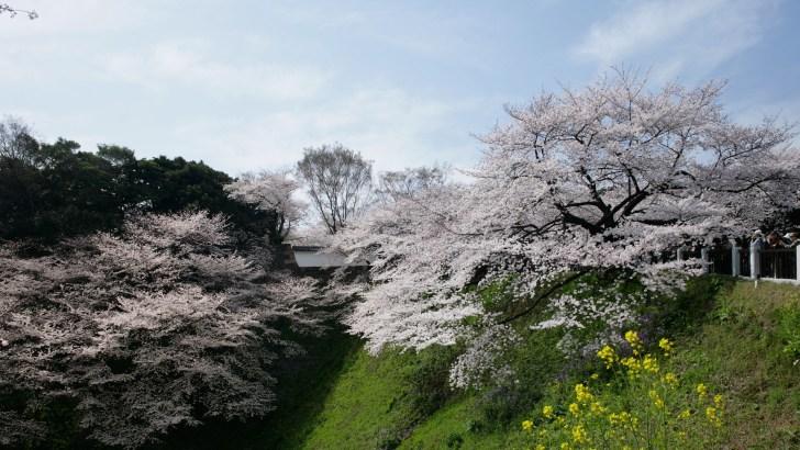 田安門・桜