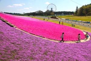 東京ドイツ村『芝桜まつり』