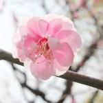 梅の名所北関東