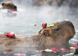 syabotenkapibara