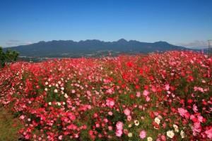 鼻高展望花の丘コスモス畑