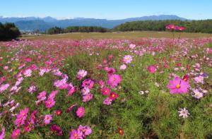 昭和村のコスモス畑