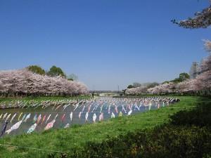 鶴生田川桜