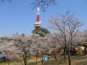 八幡山公園桜