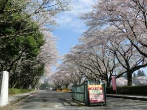 井頭公園桜まつり