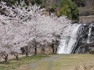 龍門の滝桜
