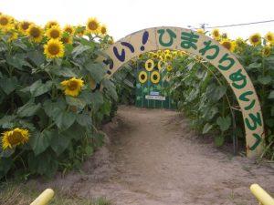 小川農場 巨大ひまわり迷路