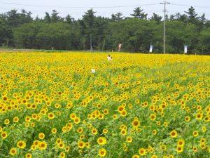 西目町ひまわり畑