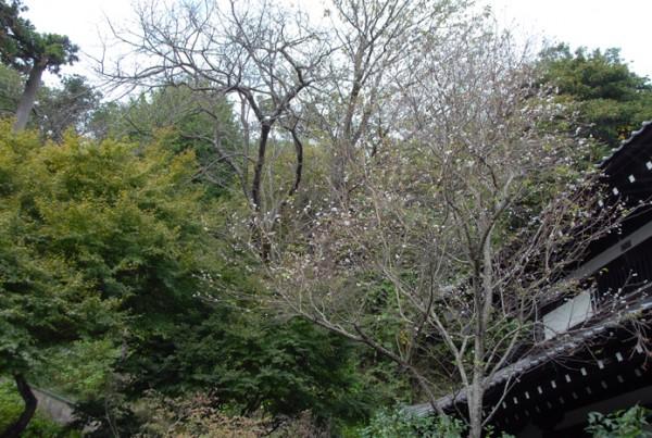 長谷寺冬桜