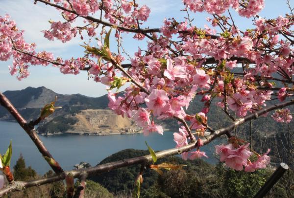 豊後水道河津桜まつり