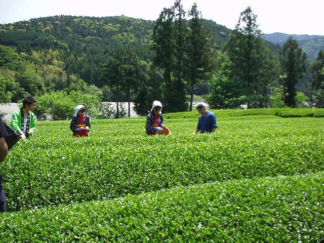 山香荘茶園茶摘み体験