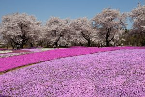 東武トレジャーガーデン芝桜