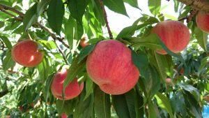 見晴し園桃
