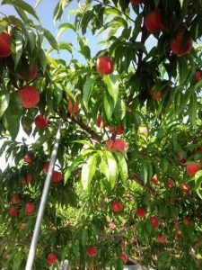 中込農園桃