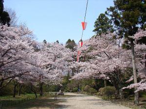 千秋公園桜