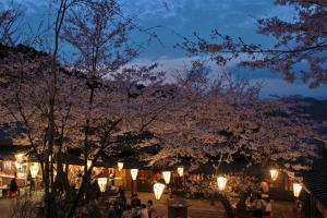 牧野公園桜