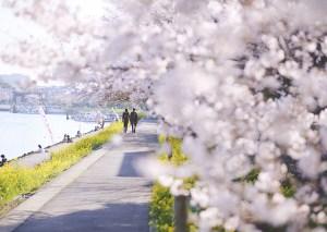 しながわ花海道桜・菜の花まつり