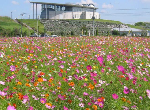 加須市コスモス畑