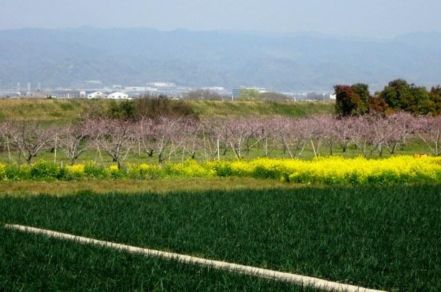 桃山町桃畑