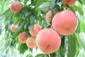 関東で楽しむ桃の収穫体験