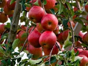 福島県りんご狩り