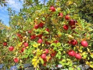 黒田りんご園