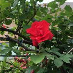 札幌の穴場スポット ロイズのバラ園☆ロイズローズガーデン