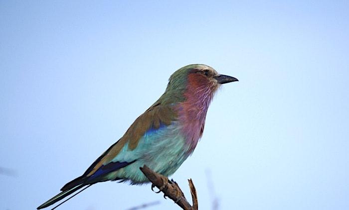 ボツワナの国鳥コーリーバスタード
