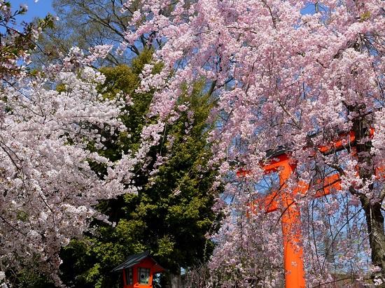 20150216-285-2-kyoto-Cherry-blossoms