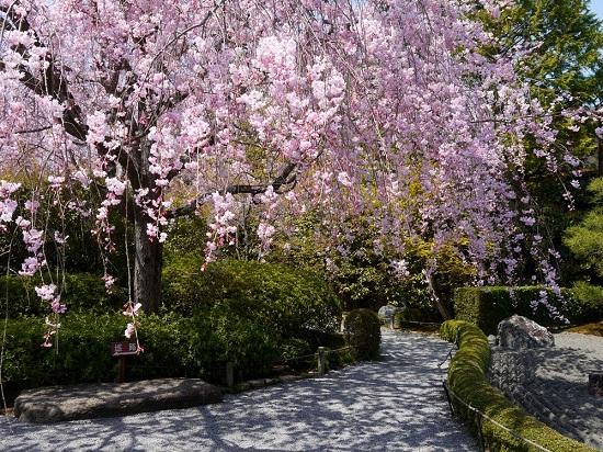 20150216-285-33-kyoto-Cherry-blossoms