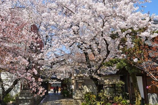 20150216-285-35-kyoto-Cherry-blossoms