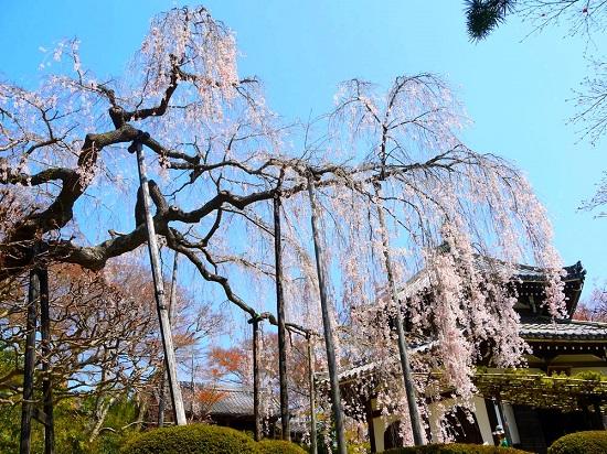 20150216-285-41-kyoto-Cherry-blossoms