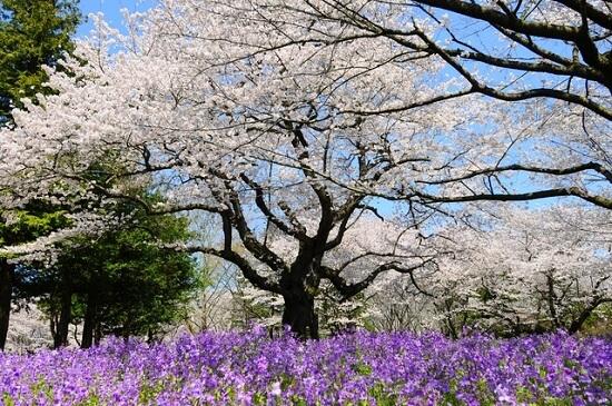20150220-289-39-tokyo-Cherry-blossoms