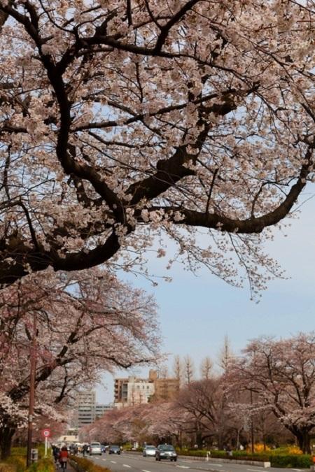 20150220-289-45-tokyo-Cherry-blossoms