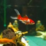 金魚 動物