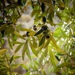 オリーブ 自然 風景 野菜