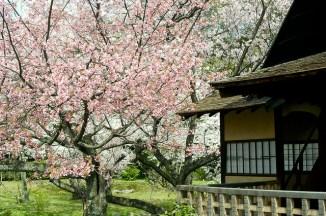 京都 Hanami Kyoto