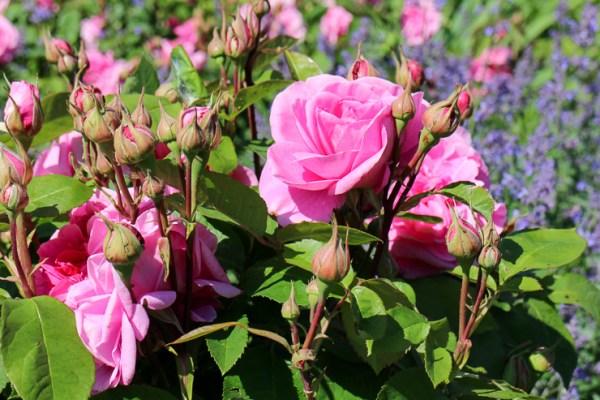 パーラムハウスのバラ