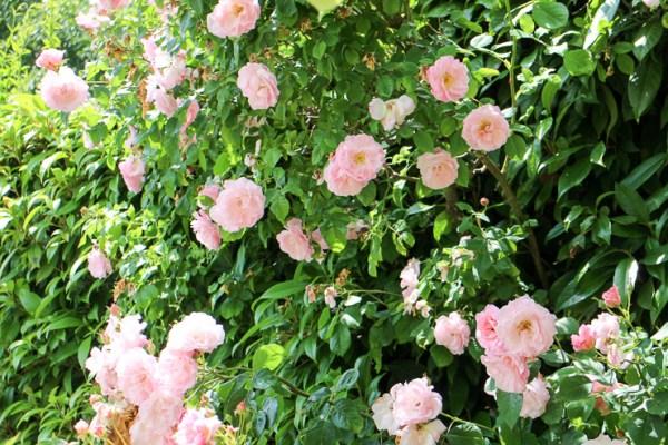 ブロートングランジのバラ