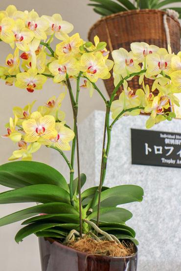 東京ドームの胡蝶蘭