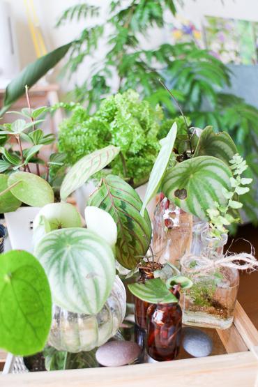 観葉植物 水挿し 発根